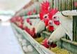 В Тульской области произвели около 60 тысяч тонн мяса птицы