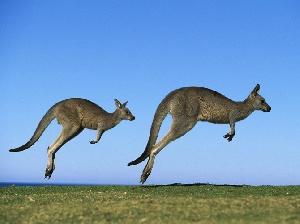 В штате Австралии из-за жары разрешили отстреливать кенгуру, пьющих из поилок скота
