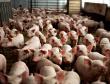 «Челны-Бройлер» и «Камский бекон» производят почти половину мяса в Республике Татарстан