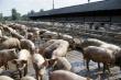 ИМИТ: в Бразилии и России в июле значительно выросли цены на живых свиней