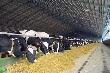 Иркутская область получит средства на развитие мясного животноводства