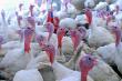 Мясо индейки в Тюменской области появится на год раньше, чем планировалось