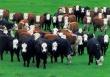Rabobank представил доклад о состоянии мировой индустрии говядины в IV квартале 2013 года