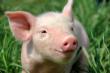 Обзор свиного рынка ЕС: рынки на этой неделе сбалансированы
