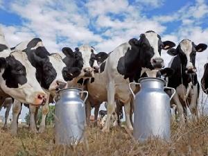 Крупную партию немецких коров привезли в Тюменскую область