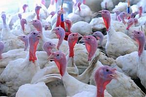 Пять тысяч индеек погибло на птицефабрике в Саратовской области