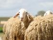 Животноводы Алтайского края передают опыт ведения овцеводства коллегам из Хакасии