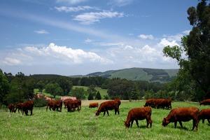В Краснодарском крае произведено 37 тысяч тонн говядины в текущем году