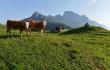В Австрии разработают кодекс поведения для туристов при встрече с коровами