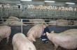 АгроПромКомплектация развернула строительство племенной свинофермы (нуклеуса) в Курской области