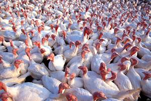 Под Красноярском возобновляют производство мяса индейки