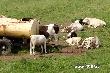 На развитие мясного скотоводства в Калининградской области направят 2,14 млрд. рублей