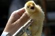 В Канаде создают инновационный птицеводческий центр