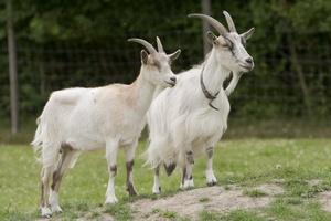 Самая крупная в Европе козья ферма может появиться в Карелии