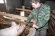 Новгородский фермер откормил больше тысячи свиней