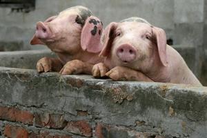 Еврокомиссия закрывает проект по хранению свинины