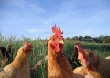 Южноуральским птицеводам рекомендовали покупать земли