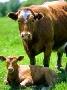В Приамурье завезут почти три тысячи австралийских коров