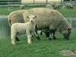 На прилавки Татарстана поступили первые 20 тонн дагестанской баранины