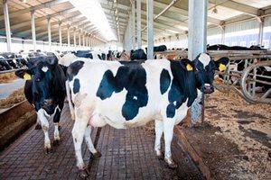 Новая животноводческая ферма открылась в Буда-Кошелевском районе Гомельской области