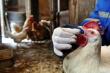 В Курской области частично отменили карантин из-за птичьего гриппа