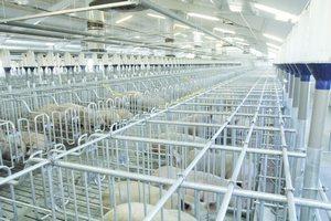В Тюменской области началось строительство свинокомплекса