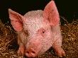 В Адыгее местные производители покрывают потребность рынка в качественной свинине