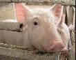 Равиль Гениатулин посетил свинокомплекс в селе Аблатуйский бор