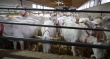 В Коломне появится ферма по разведению коз