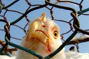 Азербайджан наложит запрет на импорт мяса птицы и продуктов из него из Турции