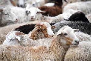 Дагестан намерен в полтора раза увеличить поставки баранины в Иран