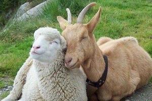 На Ставрополье работник украл у фермера 350 голов овец и коз