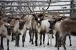 Оленеводы Коми в 2015 году почти на четверть сократили объем поставок мяса