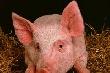 Вице-губернатор Кубани: Распространение вируса чумы свиней не связано с рейдерством