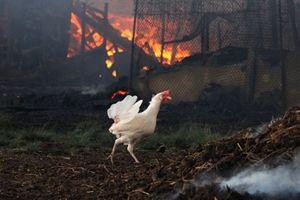 В Беларуси во время пожара на агрокомбинате «Дзержинский» погибло более 22 тысяч птиц