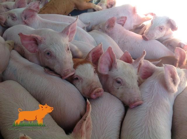 продаем поросят свиней на откорм, от 10 голов, доставка до д
