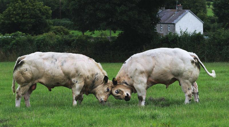 Бельгийские голубые коровы-мутанты
