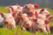 Экспорт свиных субпродуктов из России - ключевые тенденции