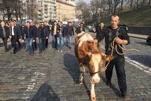 К зданию Кабинета министров Украины привели коров