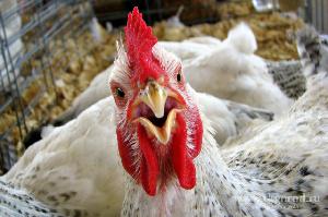 При внеплановой проверке Ангарской птицефабрики в продукции был выявлен возбудитель сальмонеллёза