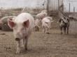 Российские свиноводы не могут победить импортеров