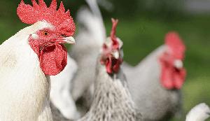 Производители птицы просят господдержки