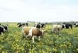 Зейский район будут развивать за счет мясного животноводства