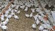 Среднедушевое потребление мяса птицы должно вырасти до 35 кг - Зубков