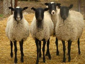 В Ярославской области появился первый племенной завод по разведению овец