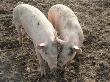 На Ставрополье зафиксировали вспышку африканской чумы свиней