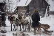 Ненецкие оленеводы готовятся к убойной кампании