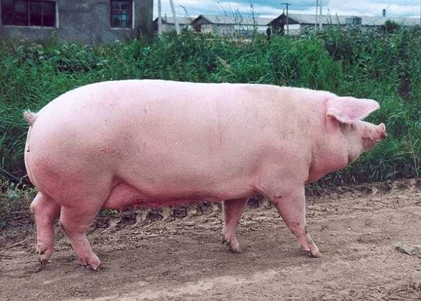 Свиноматки в живым весе от 170-250 кг