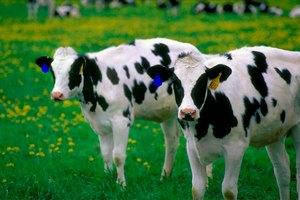 Программа по борьбе с лейкемией крупного рогатого скота будет запущена в Подмосковье в 2018 году