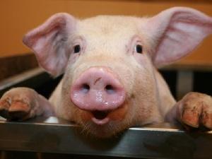 Россельхознадзор проверит трех производителей свинины в Белоруссии